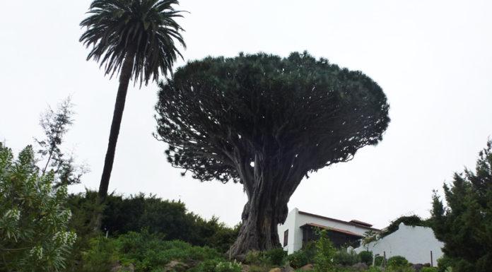 Teneryfa Smocze Drzewo