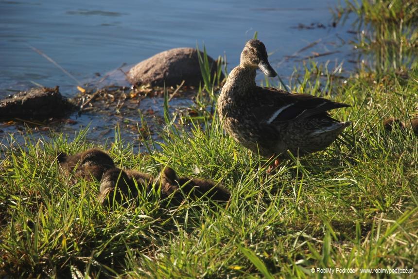 kaczki w Kalmarze