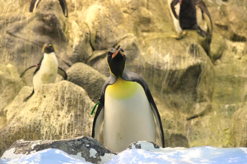pingwin je rybę