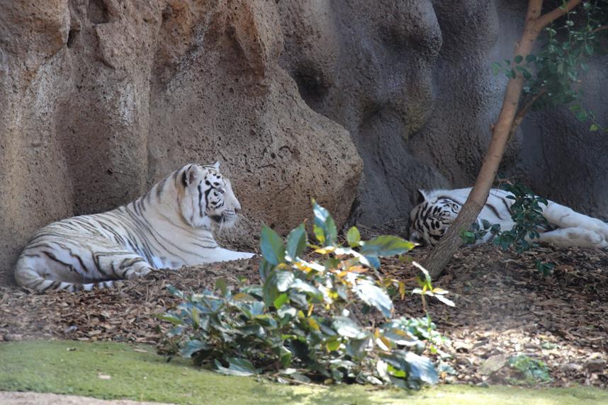 białe tygrysy