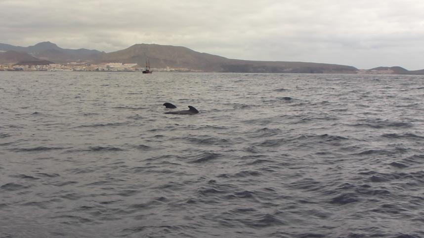 delfiny Teneryfa