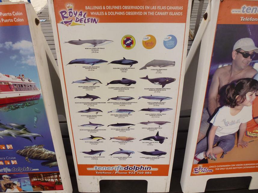delfiny kanaryjskie
