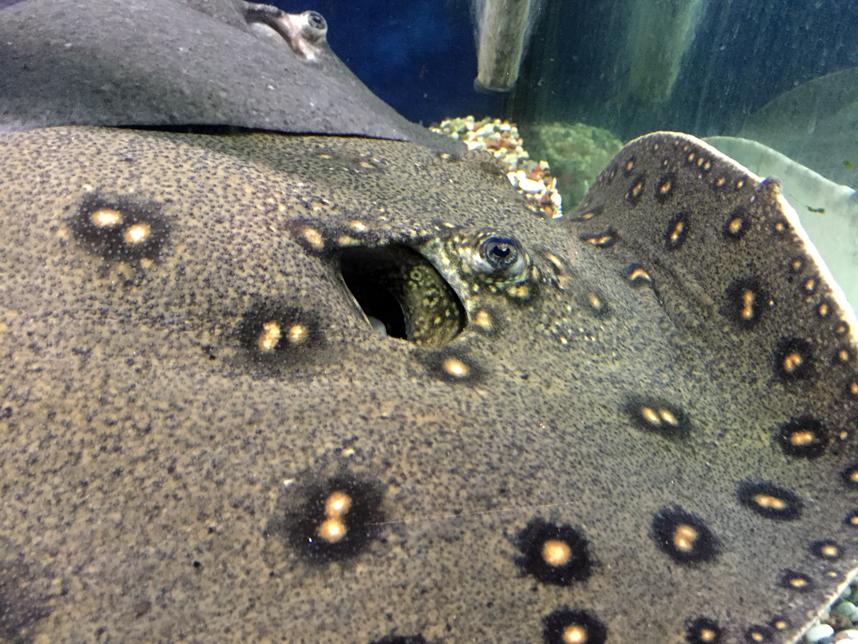 akwarium w Muzeum Oceanu płaszczka
