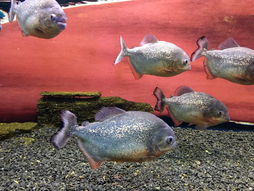 akwarium w Muzeum Oceanu piranie