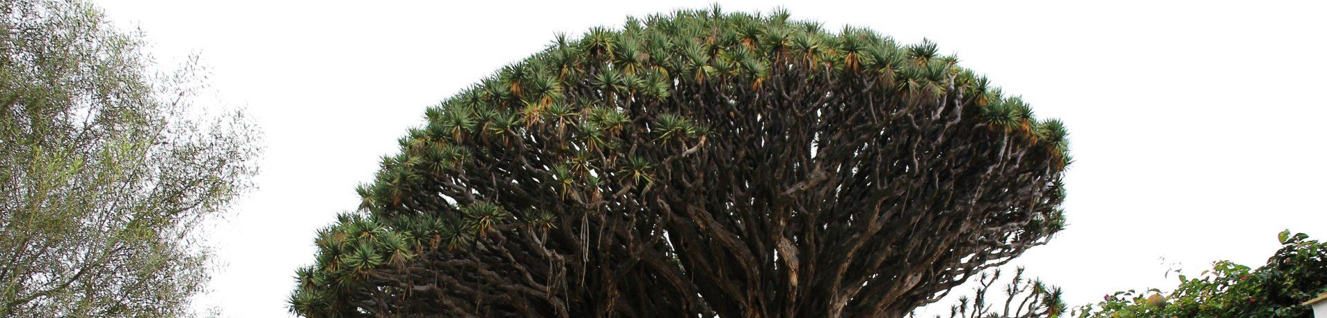 Smocze Drzewo - Przewodnik poTeneryfie