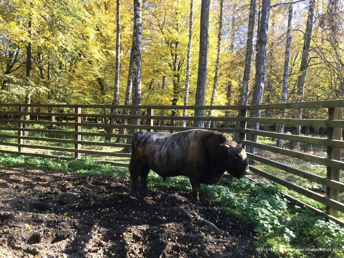 rezerwa żubra atrakcja Podlasia