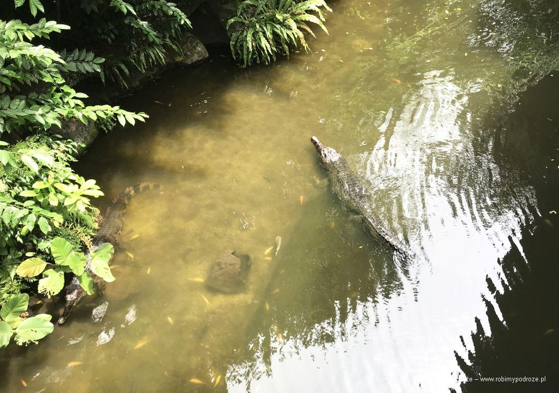 krokodyl wZOO wSingapurze