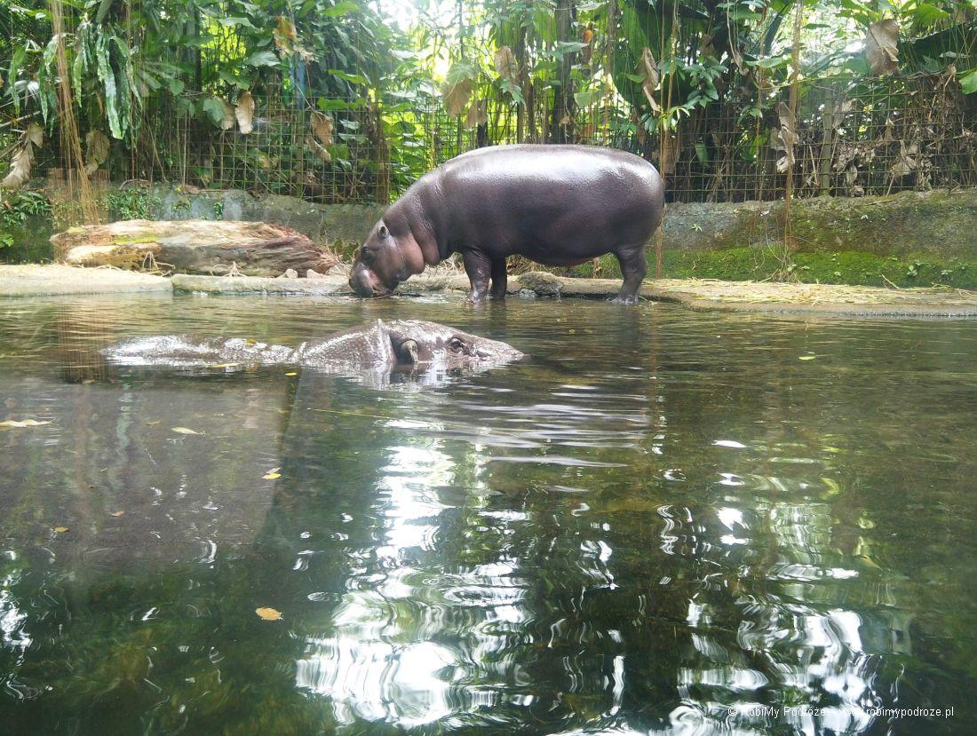 hipopotam Singapur