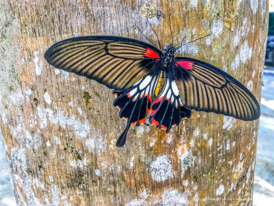 motyl wTajlandii