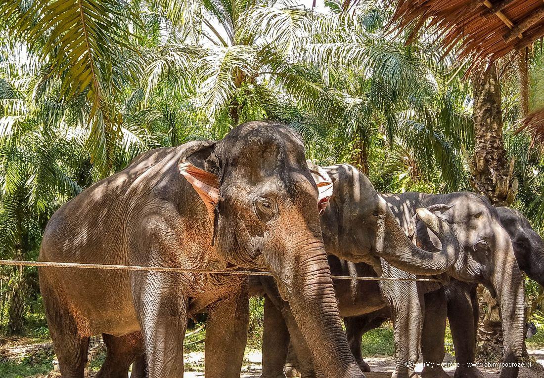 wygląd słonia azjatyckiego