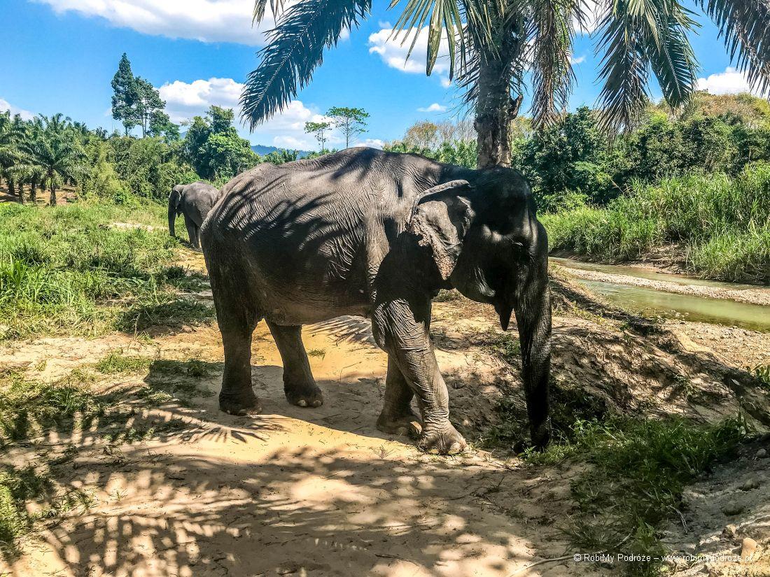 zwyczaje słoni wTajlandii